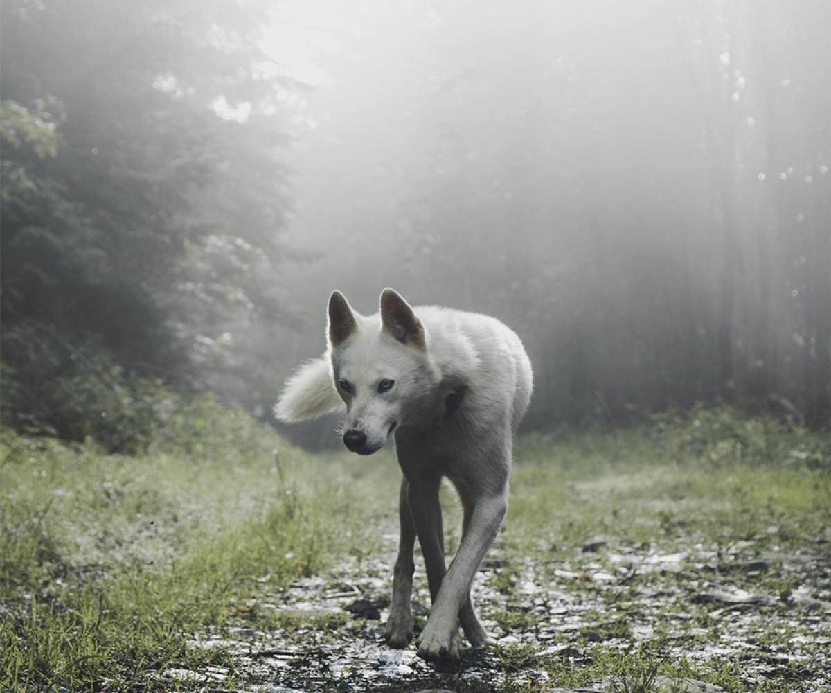 augustwolf